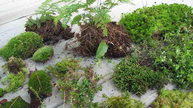 растения для флорариумов